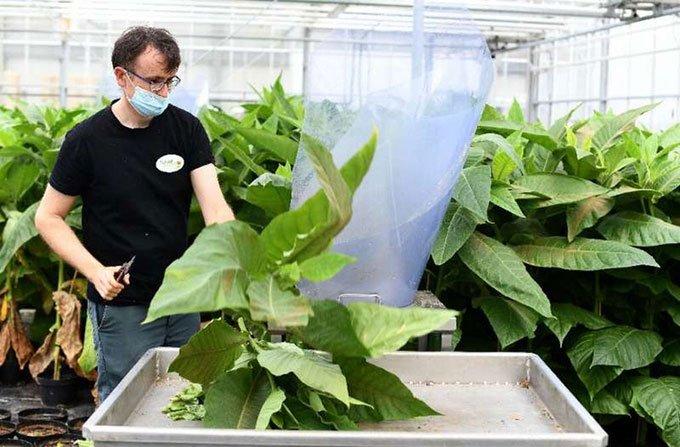 Công nhân thu hoạch bọ xít mù Macrolophus trên cây thuốc lá.