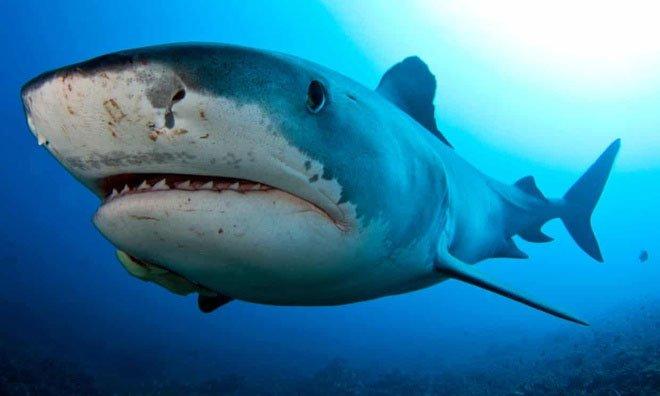 Một con cá mập hổ bơi trên rạn san hô.