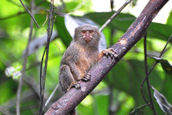 Khỉ sóc đuôi lùn tây bắc (Cebuella pygmaea).