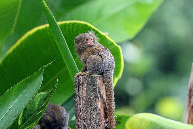 Khỉ sóc đuôi lùn tây nam (Cebuella niveiventris).