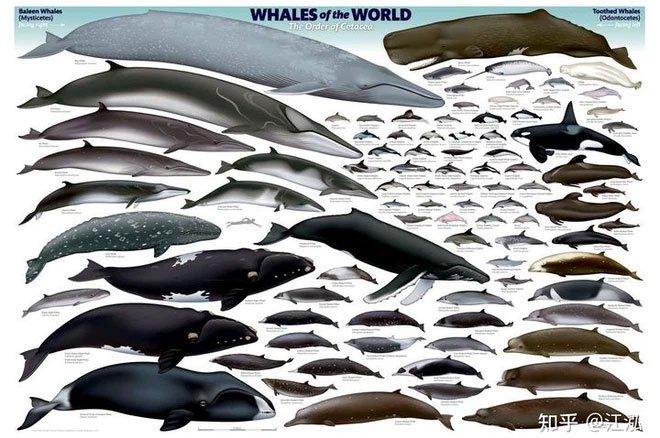 Các loài trong phân bộ cá voi còn tồn tại trên Trái Đất ngày nay.