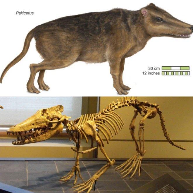 Pakicetus là một chi động vật đã tuyệt chủng thuộc bộ Cá voi (Cetacea)