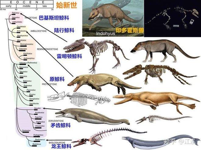 Sơ đồ quá trình tiến hóa của cá voi cổ đại.