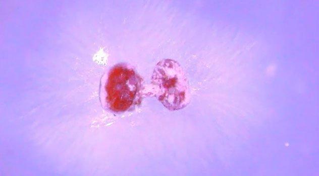 Loại nấm này có tác dụng hiệu quả nhưng đắt và không duy trì được lâu do nhiệt độ trong tổ ong.