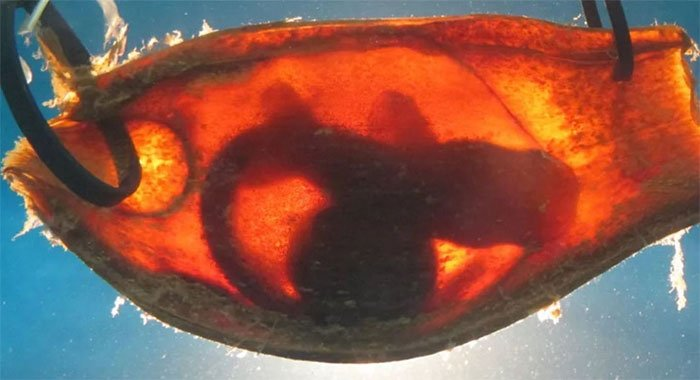 Bào thai cá mập tre vằn.