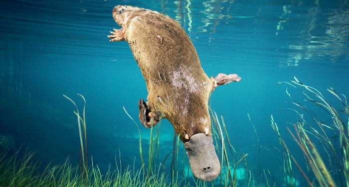 Tuổi thọ của thú mỏ vịt từ 10-17 năm.