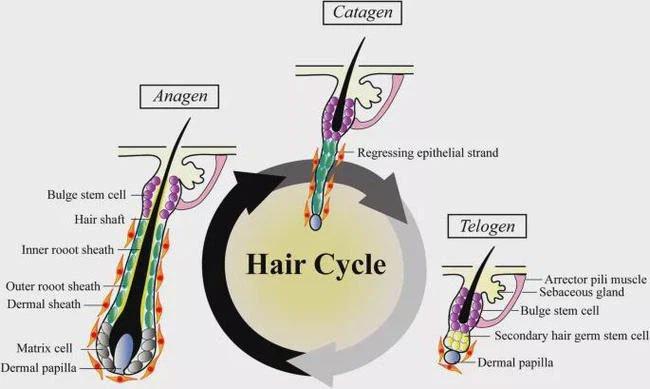 Chu kỳ phát triển của tóc