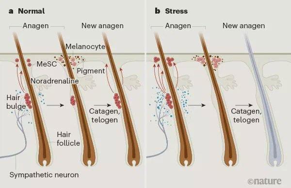 Hoạt động của tế bào gốc melanin trong điều kiện bình thường và căng thẳng.