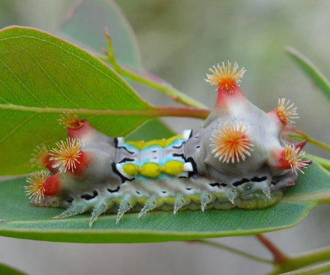 Ấu trùng bướm đêm Doratifera vulnerans.