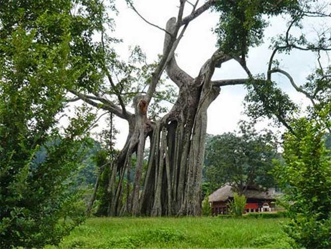 Cây đa Tân Trào khoảng 300 năm tuổi