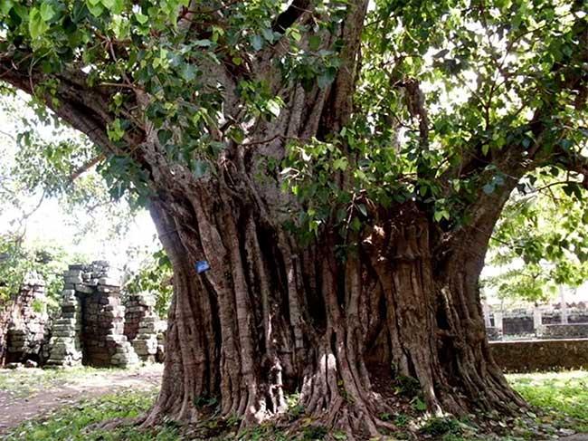 Cây bồ đề Yang Lành khoảng 132 năm tuổi